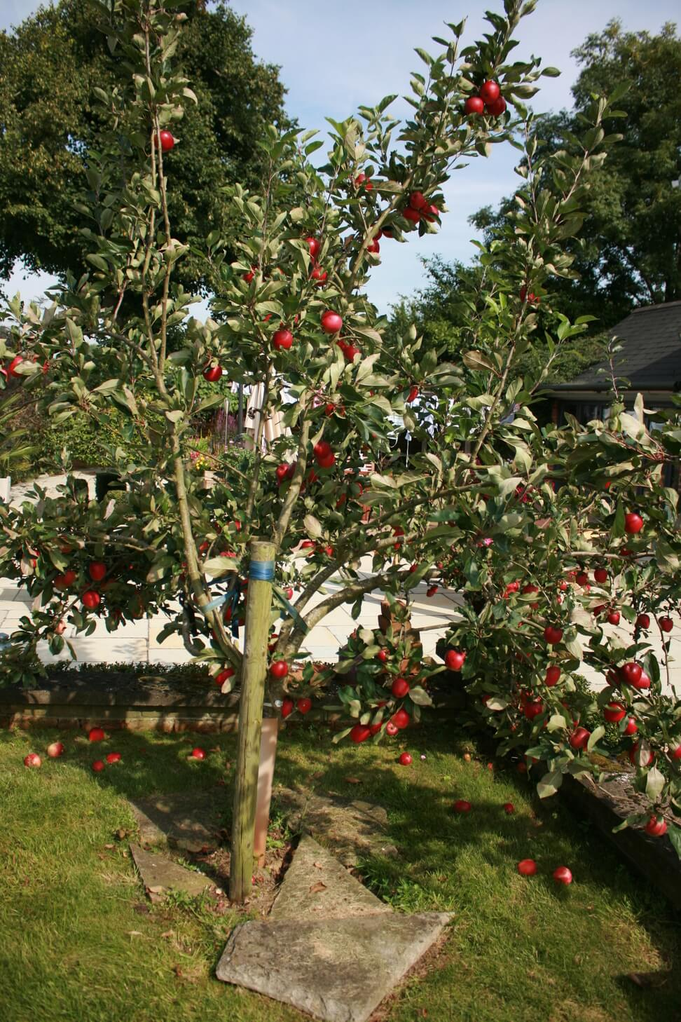 new forest apple tree